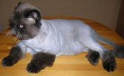 Стрижка кошек,  котов,  котят-любая сложность,  БЕЗ НАРКОЗА! 1200 руб